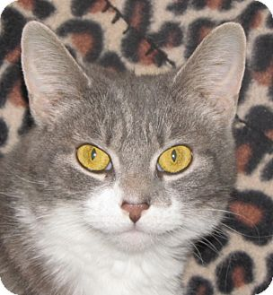 Domestic Shorthair Cat for adoption in New Windsor, New York - Isabella