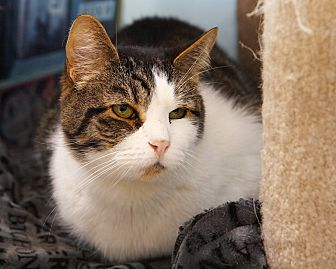 Domestic Shorthair Cat for adoption in Oakland, New Jersey - Pete