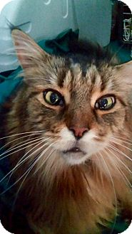 Maine Coon Cat for adoption in Absecon, New Jersey - Harrington (Harry)