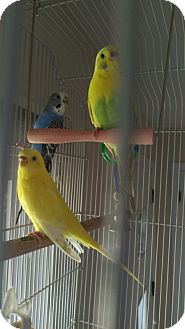 Parakeet - Other for adoption in Aurora, Illinois - Snap, Crackle, and Pop