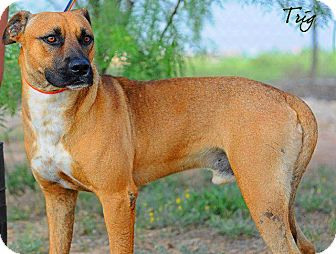 Boxer/Black Mouth Cur Mix Dog for adoption in Big Spring, Texas - Trigg HS Orig