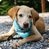 Labrador Retriever Mix Dog for adoption in West Grove, Pennsylvania - Larry