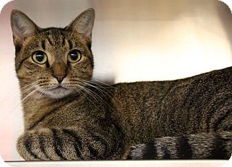 Domestic Shorthair Cat for adoption in Sarasota, Florida - Biscuit