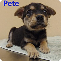 Feist/Chihuahua Mix Puppy for adoption in Mountain View, Arkansas - Pete