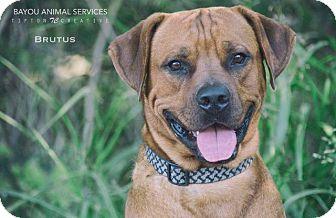 Rottweiler/Rhodesian Ridgeback Mix Dog for adoption in Dickinson, Texas - Brutus