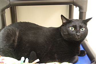 Domestic Shorthair Cat for adoption in North Hollywood, California - Edie