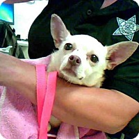 Chihuahua Dog for adoption in Conroe, Texas - BABY GIRL