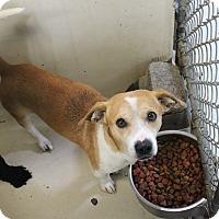 Dachshund Mix Dog for adoption in Odessa, Texas - A05 Calvin