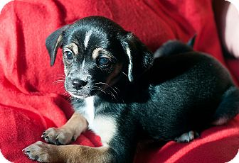 Chihuahua/Terrier (Unknown Type, Small) Mix Puppy for adoption in Fountain Valley, California - Sassy