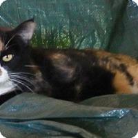 Calico Cat for adoption in Quail Valley, California - Emily
