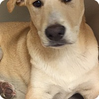 Labrador Retriever/Australian Cattle Dog Mix Puppy for adoption in Snyder, Texas - Chong