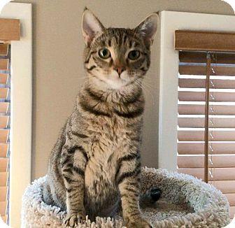 Domestic Shorthair Kitten for adoption in Lombard, Illinois - Ava