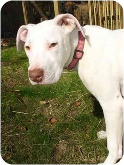 Cloudia   Adopted Dog   Nashville, TN   Great Dane ...