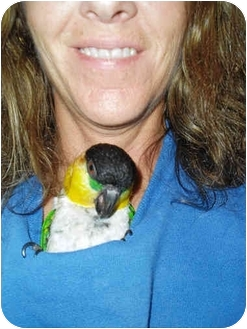 Caique for adoption in Fountain Valley, California - Whisker