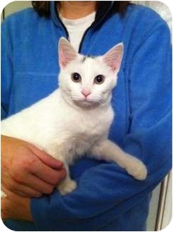 American Shorthair Kitten for adoption in Simpsonville, South Carolina - Missey
