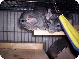 Chinchilla for adoption in Avondale, Louisiana - Cheech & Josephina