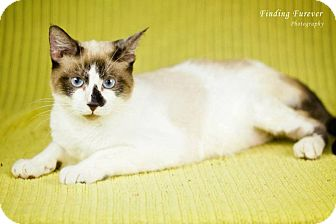 Snowshoe Cat for adoption in San Antonio, Texas - Cooper