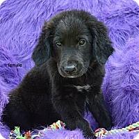 Adopt A Pet :: Farren - New Boston, NH