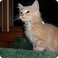 Adopt A Pet :: Buff Fluffy Kitten - Acme, PA