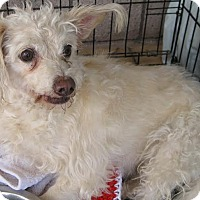 Terrier (Unknown Type, Small)/Poodle (Miniature) Mix Dog for adoption in Phoenix, Arizona - Daisy