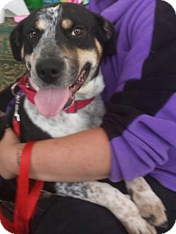 Australian Cattle Dog/Bluetick Coonhound Mix Dog for adoption in Porter Ranch, California - Becky (PRA)