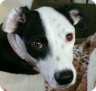 San Diego, CA - Whippet/Terrier (Unknown Type, Medium) Mix ...