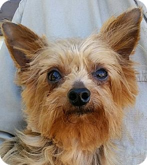 yorkie rescue kentucky lexington ky yorkie yorkshire terrier meet jackson a 7779