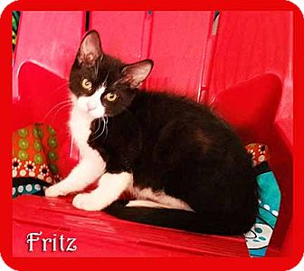 Domestic Shorthair Cat for adoption in South Bend, Indiana - Fritz