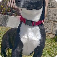 Adopt A Pet :: Thunder-Adoption pending - Bridgeton, MO