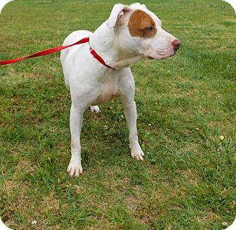 Pit Bull Terrier Mix Dog for adoption in Tupelo, Mississippi - Daisy Duke-022702j