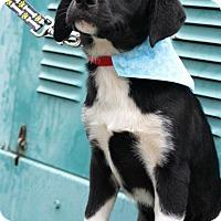 Adopt A Pet :: Stephanie-pending adoption - Manchester, CT