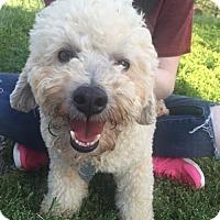 Adopt A Pet :: Bucky Bronco- cataract kid - Spartanburg, SC