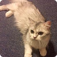 Adopt A Pet :: Fluffy - Cerritos, CA