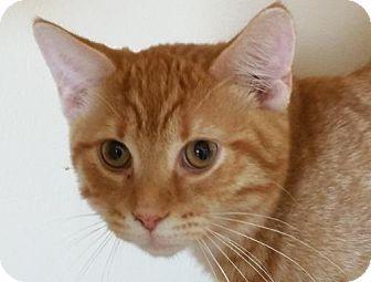 Domestic Shorthair Cat for adoption in Berlin, Maryland - Boris TK