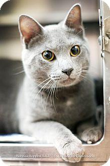 Domestic Shorthair Cat for adoption in Appleton, Wisconsin - Jaguar