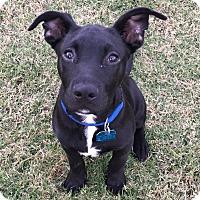 Adopt A Pet :: Raider - Glastonbury, CT