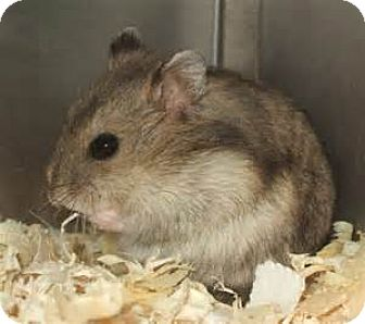 Hamster for adoption in Virginia Beach, Virginia - 1610-1788, 90 Summer and Sunflower