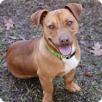 Adopt A Pet :: Bean - Athens, GA