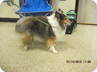 Sheltie, Shetland Sheepdog Dog for adoption in apache junction, Arizona - Tippy
