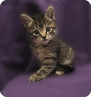 Domestic Shorthair Kitten for adoption in Richmond, Virginia - Henry