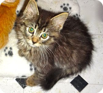 Maine Coon Kitten for adoption in Escondido, California - Sambo