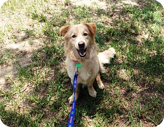 Golden Retriever/Basset Hound Mix Puppy for adoption in Dundee, Florida - Rosie