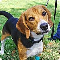 Adopt A Pet :: Bagel - Orange Park, FL