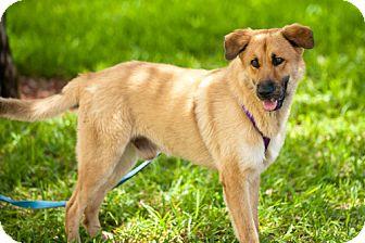Australian Shepherd/German Shepherd Dog Mix Dog for adoption in Key Biscayne, Florida - Duke