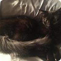 Domestic Mediumhair Cat for adoption in Stahlstown, Pennsylvania - Sophia