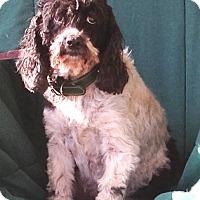 Adopt A Pet :: Bindi - Santa Barbara, CA