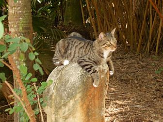 Domestic Shorthair Cat for adoption in Naples, Florida - Fellini
