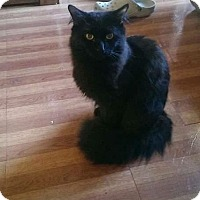 Domestic Longhair Cat for adoption in Whitestone, New York - Panther