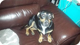Dachshund/Labrador Retriever Mix Dog for adoption in Jacksonville, Florida - Beau