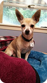 chihuahua rescue ct julius in ct adopted dog manchester ct chihuahua mix 2172